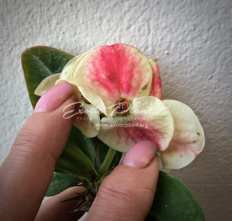 Euphorbia millii Endless Love / эуфорбия миля Эндлесс Лов 12-25
