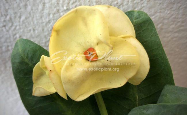 euphorbia King Golden 12-25