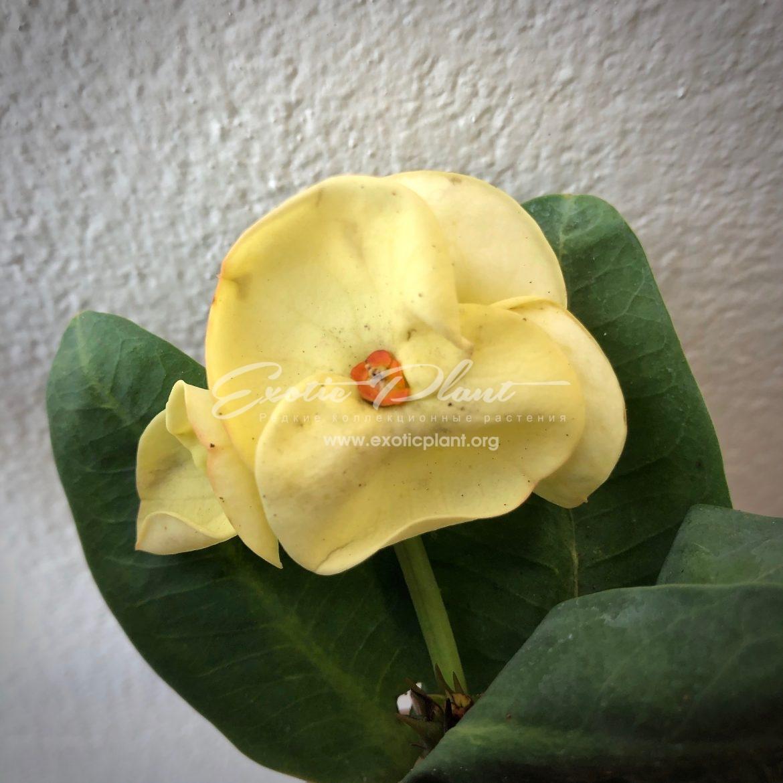 euphorbia millii King Golden / эуфорбия миля Кинг Голден 12-25