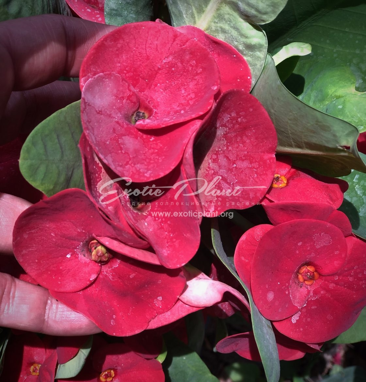euphorbia millii Red Giant / эуфорбия миля Ред Джиант12-25