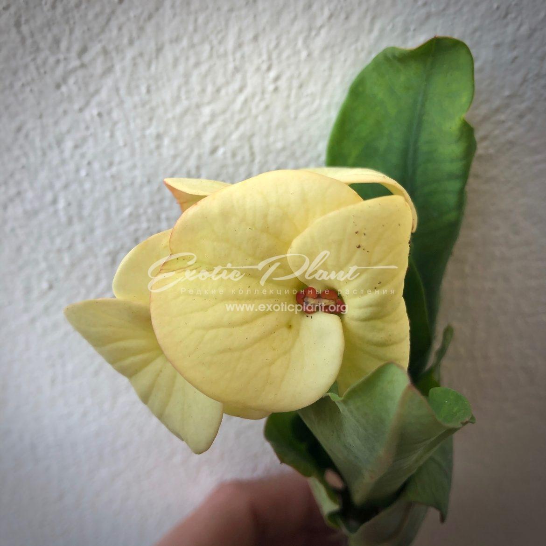 euphorbia millii Sabrina / эуфорбия миля Сабрина 12-25