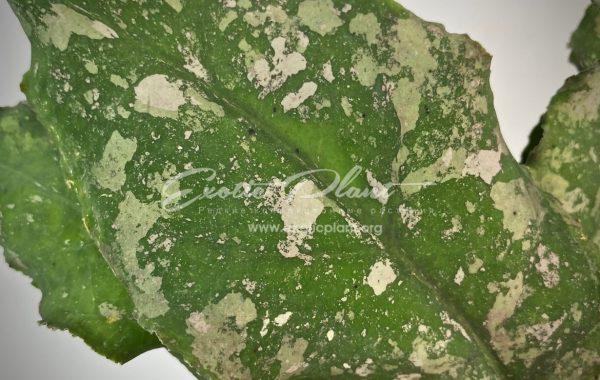 hoya undulata (long wave big dotted) / hoya undulata (long wave big dotted) / хойя ундулата (клон с длинными волнистными листьями с ярковыраженной пятнистостью) 100