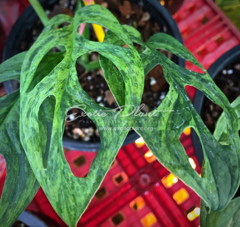 monstera obligua yellow variegated 350 – к продаже предлагают растение 1-2 листа