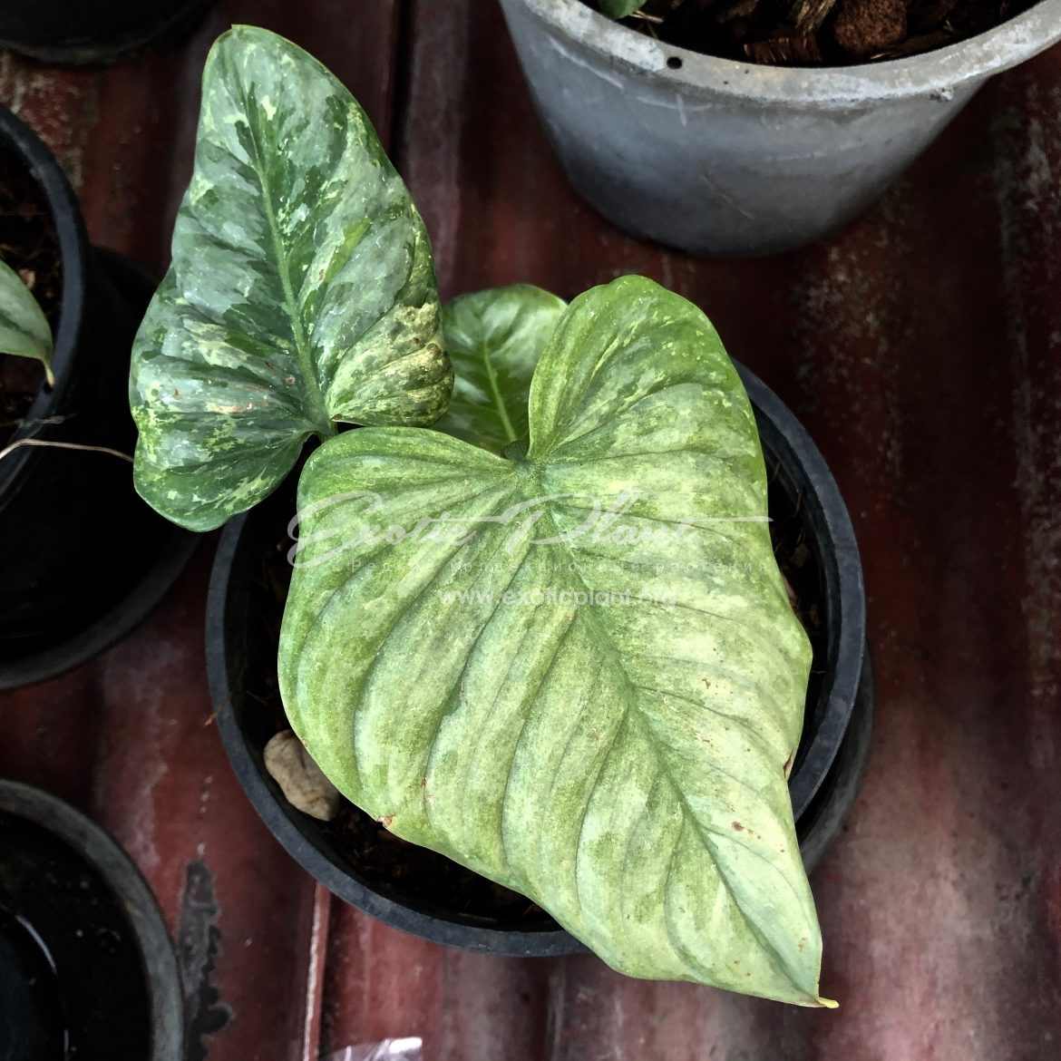 philodendron sodiroi variegated 250