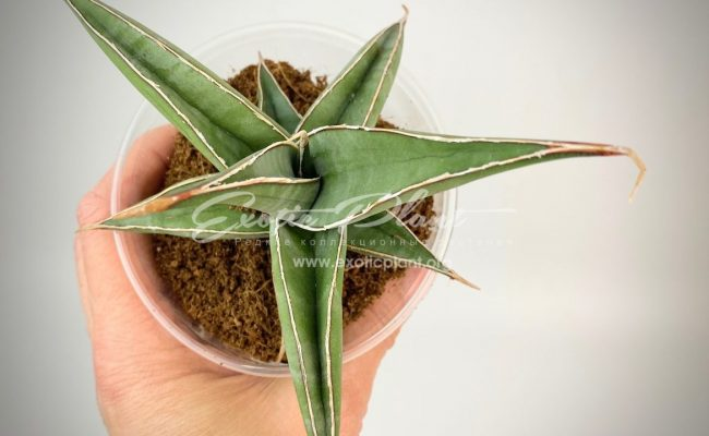 sansevieria 268 pinguicula «Longiflora» 35