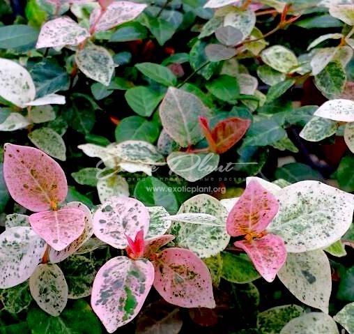 Breynia nivosa сv Roseopicta (maybe Trachelospermum 'Tricolor') 7-15