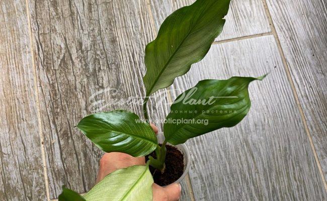 Spathiphyllum blandum 'Spilt Milk' narrow leave clone 25