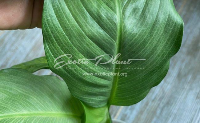 Spathiphyllum blandum Spilt Milk 50