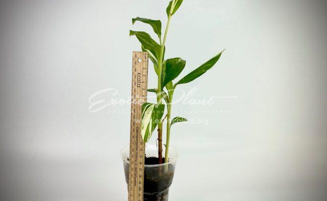 Alpinia vittata variegated 1200