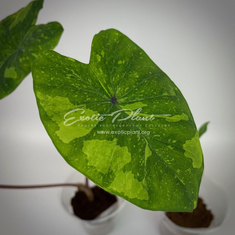 Colocasia esculenta variegata 35 = Colocasia sp.(T01) variegated 35