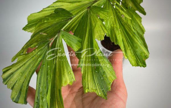 caryota mitis variegated (dwarf form) – новинка, карликовая форма