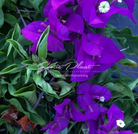 Bougainvillea Blueberry 14