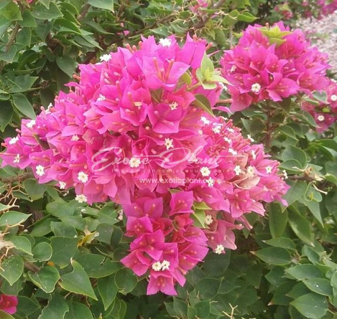 Bougainvillea Pixie Queen (pink flower) 14