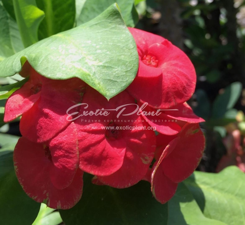 Euphorbia millii Flame of Forest / эуфорбия миля Флейм оф Форест 12-25