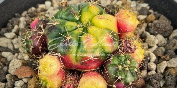 Gymnocalycium damsii variegated