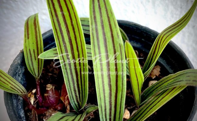 Ledebouria Cooperi (1 луковица) 7
