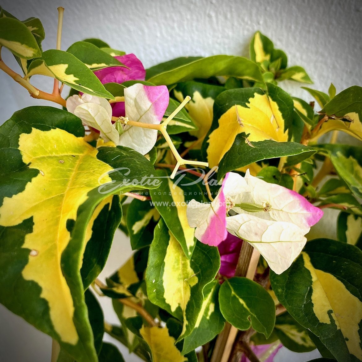 Bougainvillea Magic Ice Cream (pink flower) 18