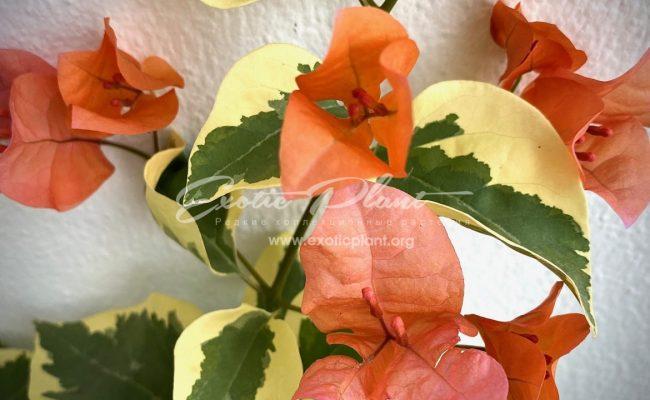 bougenvillea Orange Ice variegated
