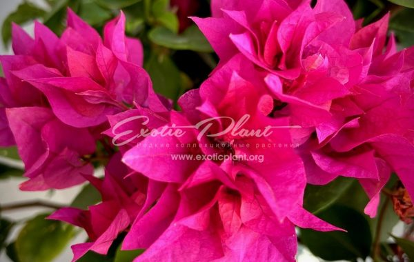 bougenvillea Double  Purple 16