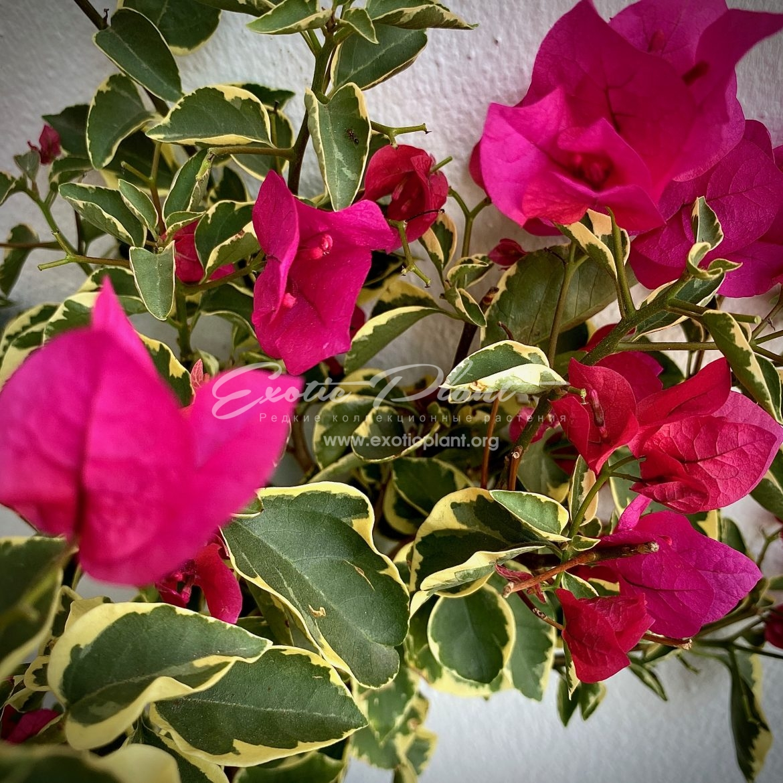 Bougainvillea Teatime Pixie albomarginata 23