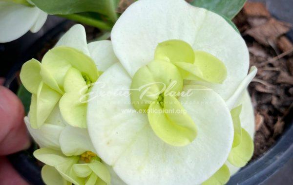euphorbia millii Jade Paradise / эуфорбия миля Джейд Пэредайз 12-25