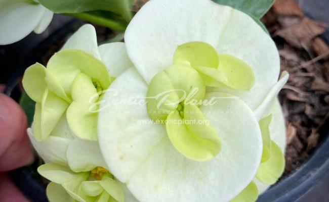 euphorbia millii Jade Paradise
