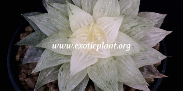 haworthia retusa variegated ex Abby Garden 2011