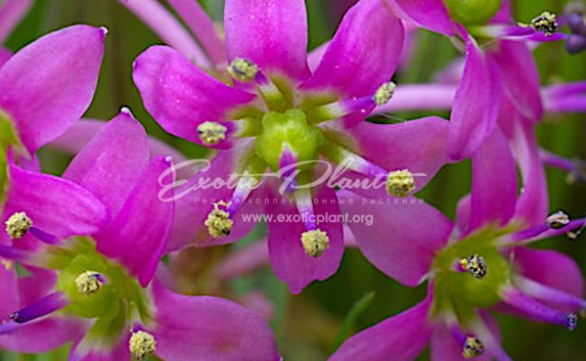 ledebouria cooperi flower
