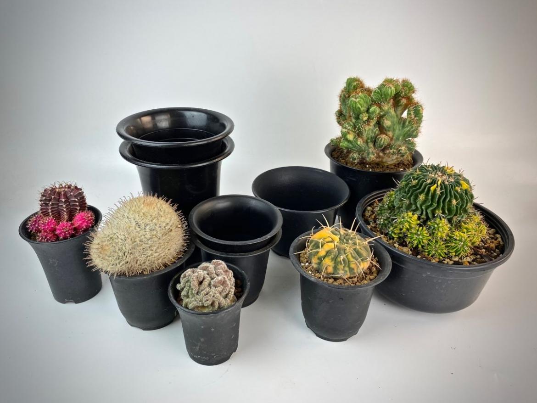 Пересаживаем кактус – нюансы и тонкости