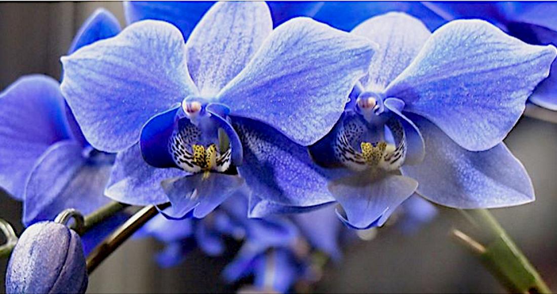Учёные вывели голубой фаленопсис! Голубой фаленопсис – миф или реальность?