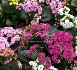Развенчиваем мифы. Миф 2. Все купленные в магазине растения необходимо обязательно пересаживать, по возможности убирая весь магазинный грунт, потому что в нем ничего не растет.