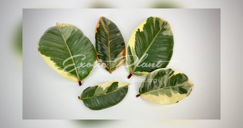 Вегетативное размножение растений. Статья 2. Размножение фикуса листом – это возможно?