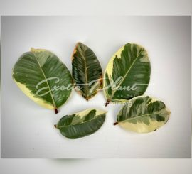 Вегетативное размножение растений. Статья 2. Размножение фикуса и филодендрона листом – это возможно?