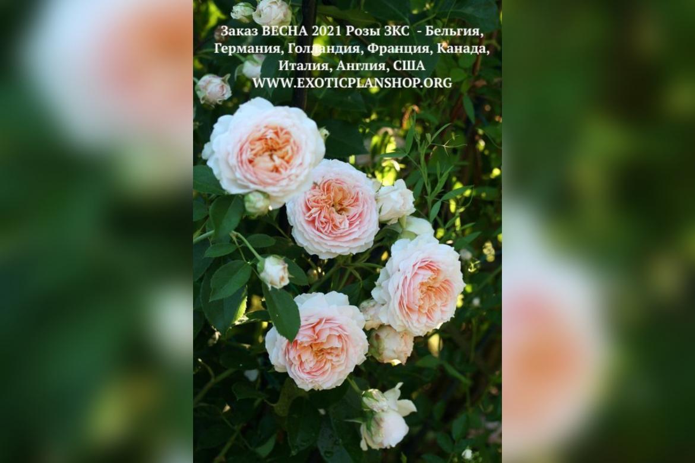 Открыт Заказ на ВЕСНУ 2021 Розы ЗКС – Бельгия, Германия, Голландия, Франция, Канада, Италия, Англия, США
