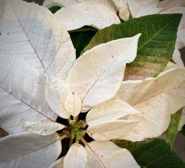 Пуансеттия под колпаком – раскрываем секреты Рождественской звезды