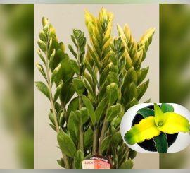 Про вариегатные растения из соседнего магазина, которые на самом деле, невариегатные, и как их отличить от настоящих вариегатных?